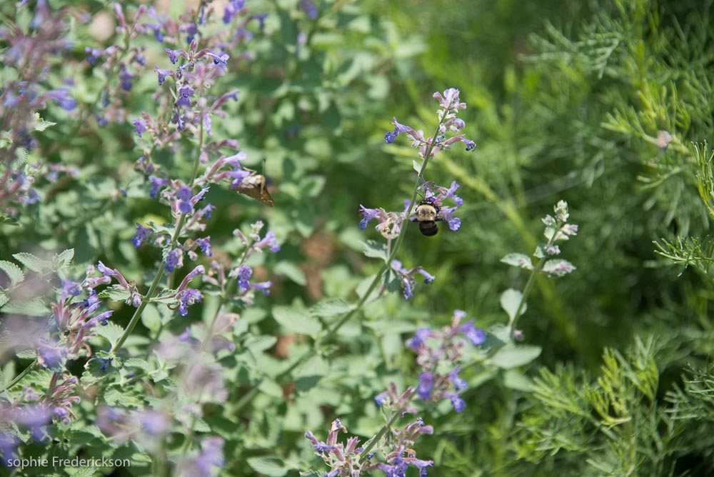 Catnip in flower with the bees