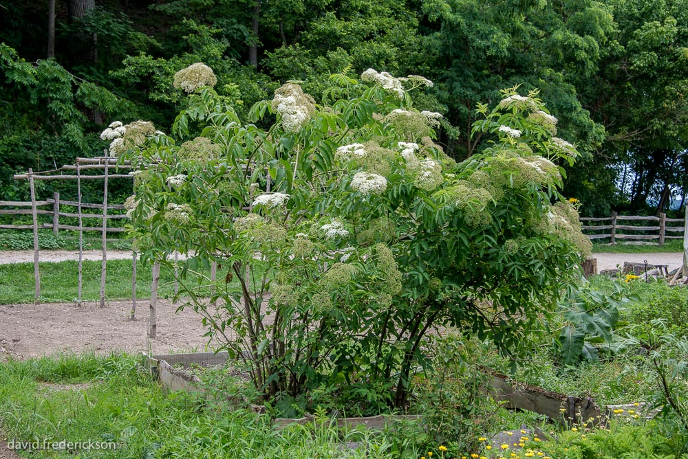 Elderberry Bush (  Sambucus nigra)  at the Pioneer Farm at Mount Vernon