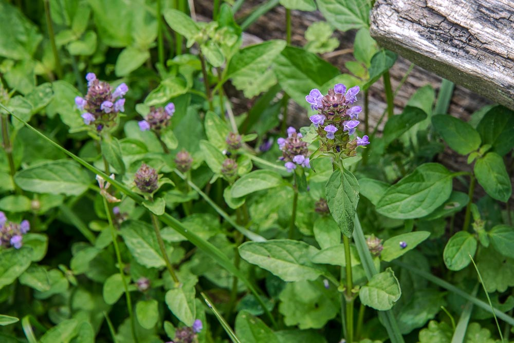 Self Heal (  Prunella vulgaris) g rowing in the wild