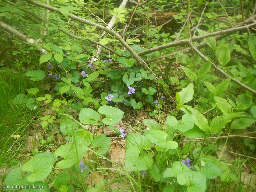 Violets in the Wood