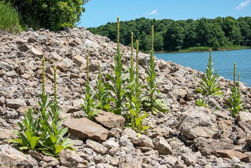 Mullein (Verbascum thrapsus)