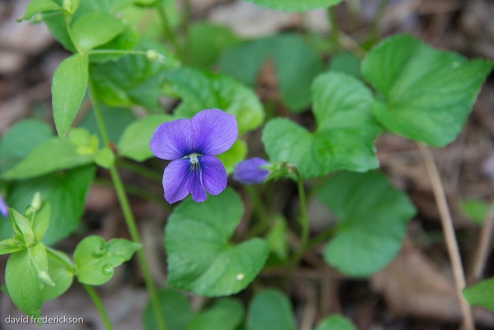 Violet ( Viola odorata)