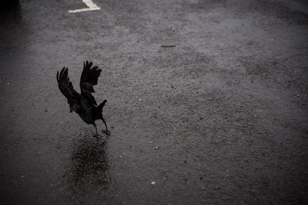 There are thousands of crows in Ireland. At first it was unnerving, but coming home, I miss seeing them. They are a beautiful majestic bird.