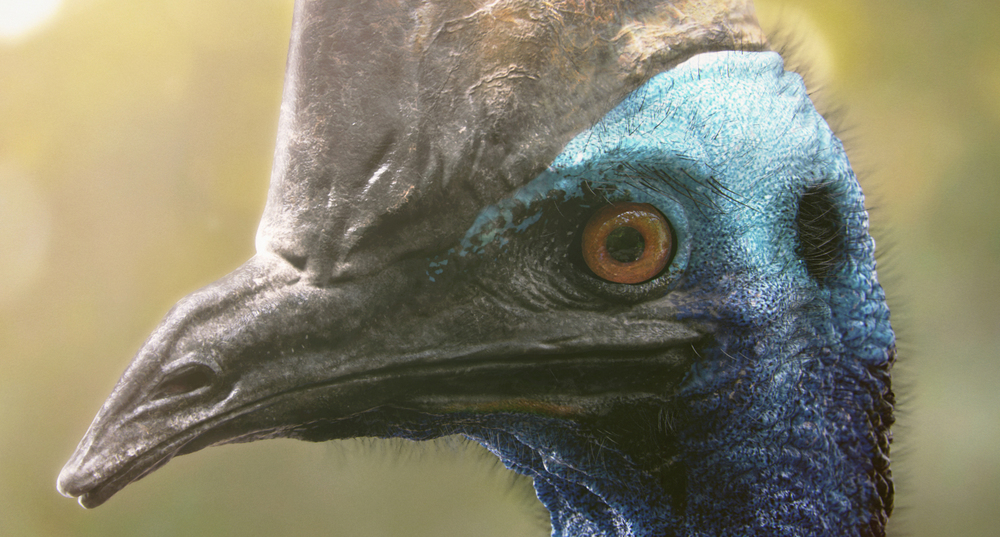 theSouthernCassowary_CloseUP.jpg