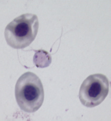 Exflagellating male gametocyte
