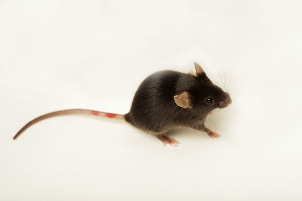 A C57/Bl6 mouse (Mus musculus) - frequently used as hosts in our experimental infections. (Credit: Sinclair Stammers)
