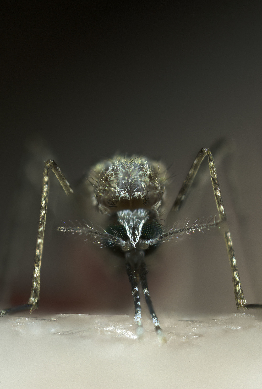 An. stephensii  vector for malaria (Credit: Sinclair Stammers)