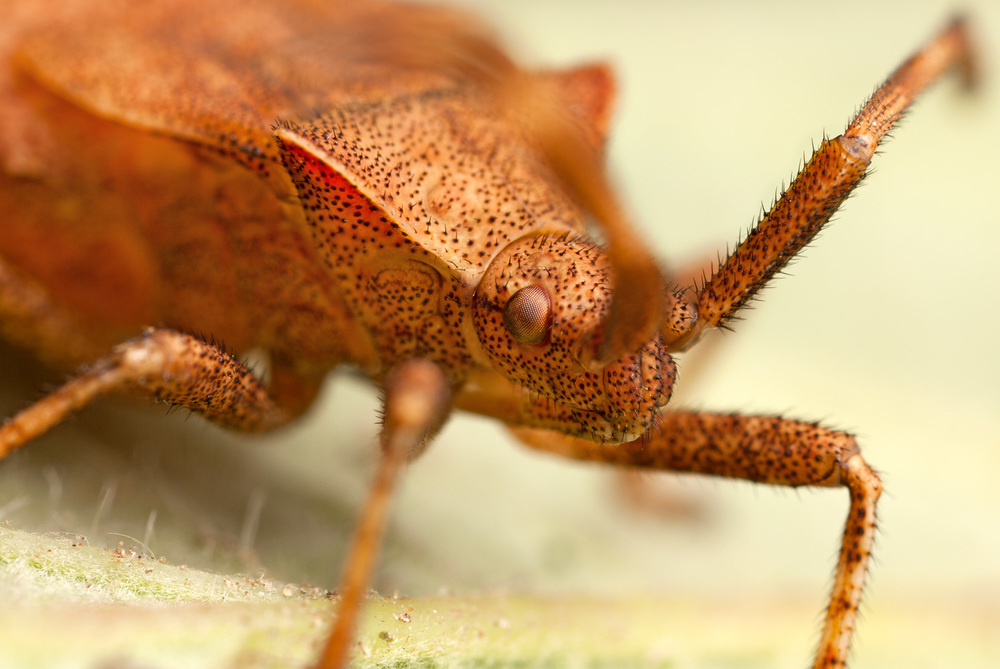 shield_bug_coreus_marginatus.jpg