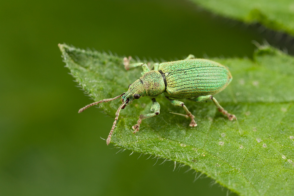 green_weevil_two.jpg
