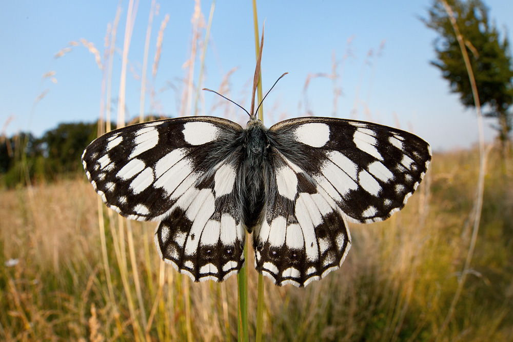 marbled_white_wide_angle.jpg