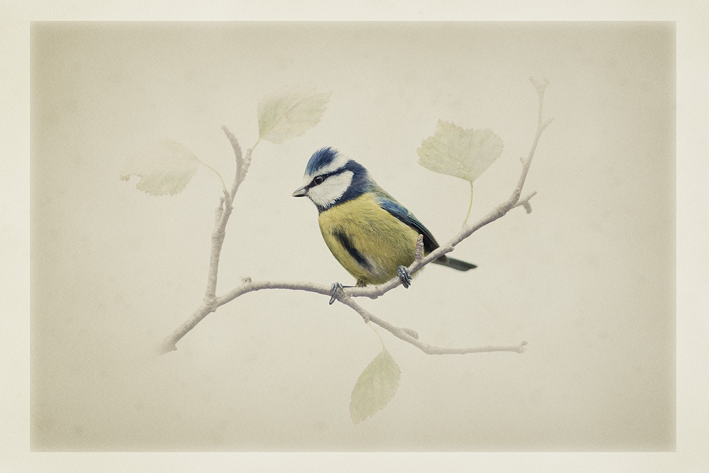 art_card_bluetit.jpg