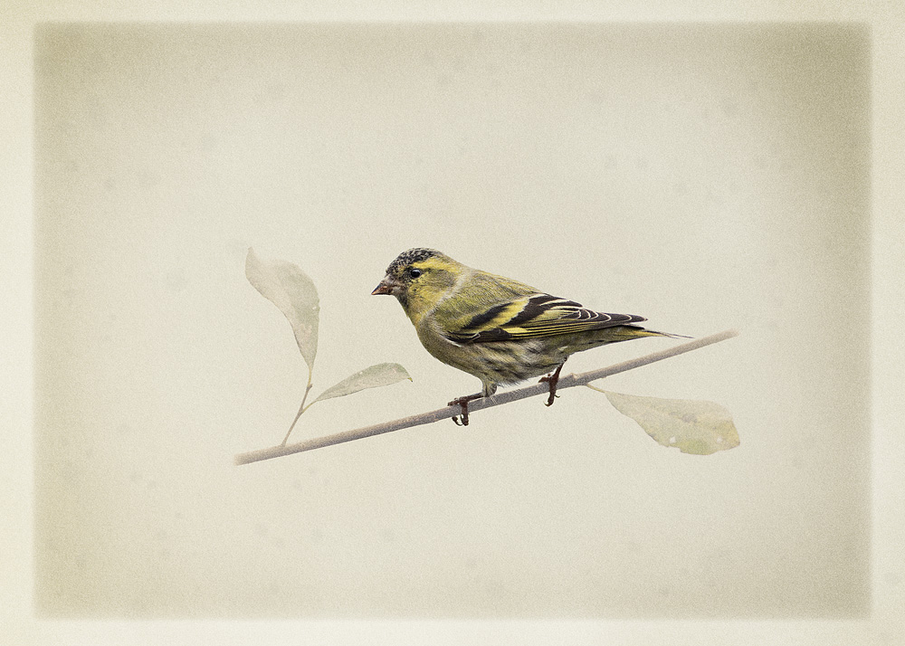 art_card_fox_siskin.jpg