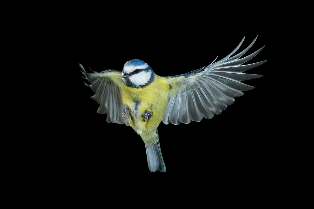 blue_tit_wings_open.jpg