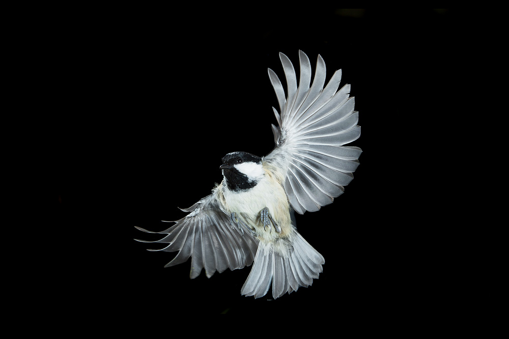 coal_tit_flight.jpg