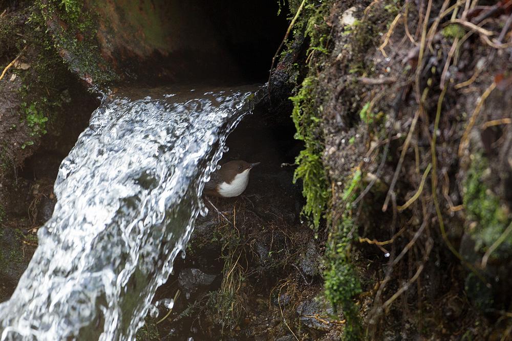 Dipper at nest entrance
