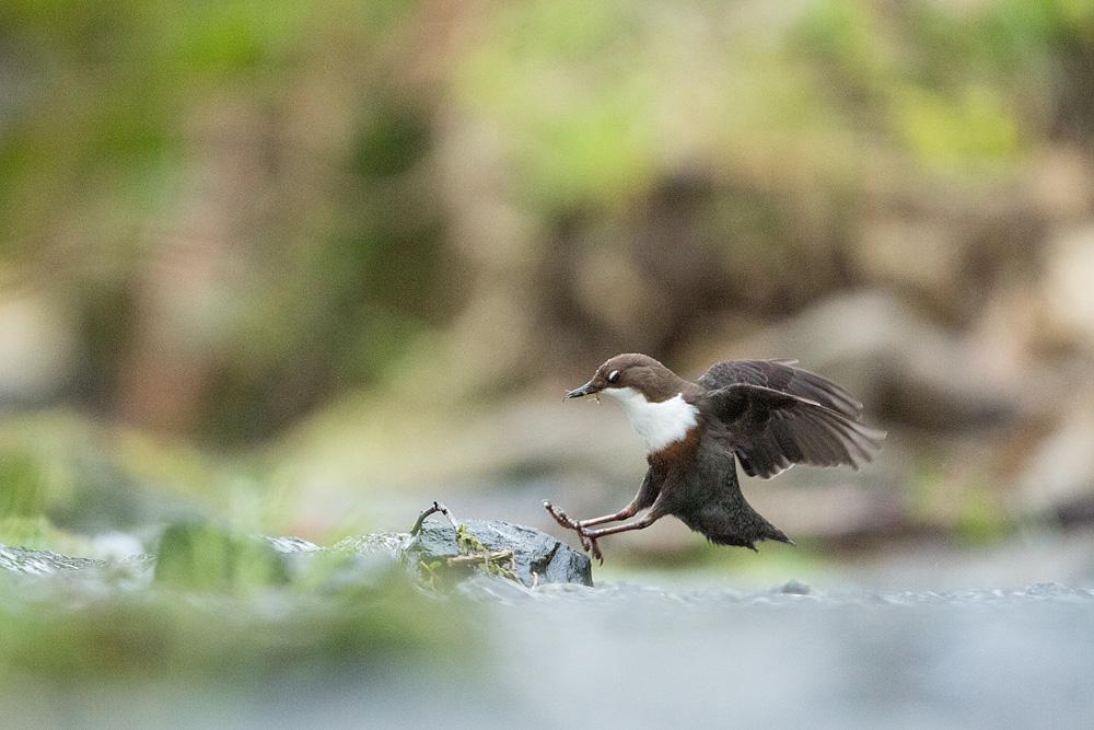 Dipper in flight