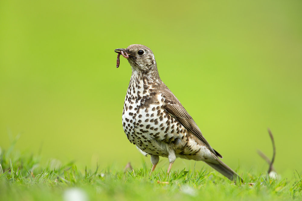 mistle thrush with worm
