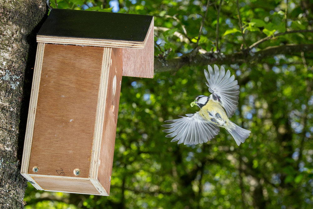 blue tit returning home