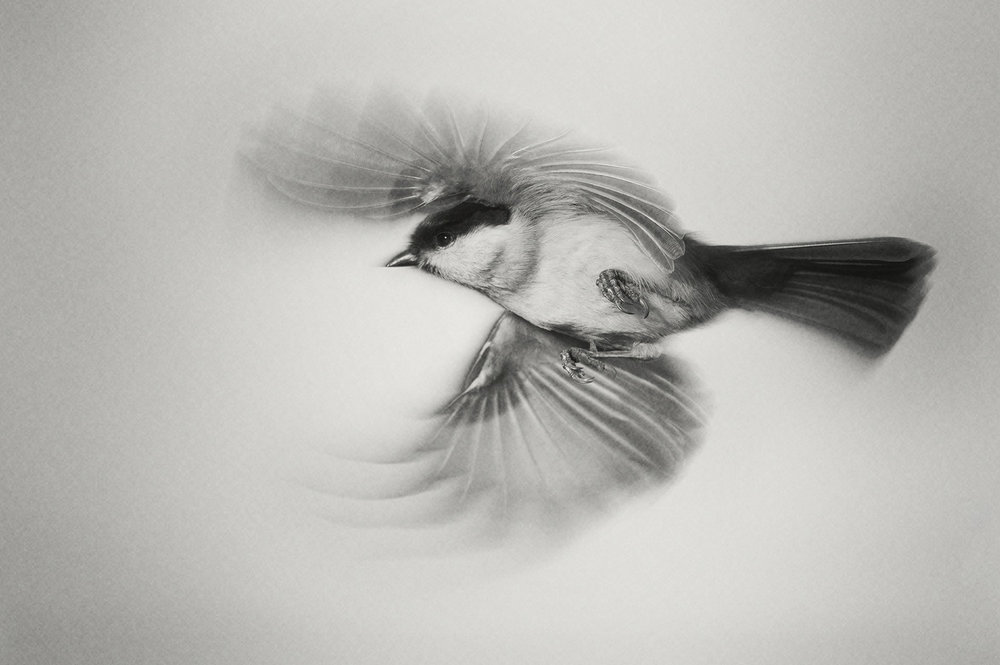 coal tit in flight
