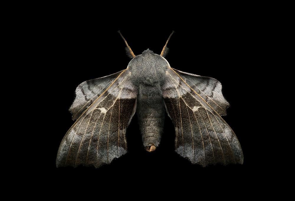 poplar hawl moth
