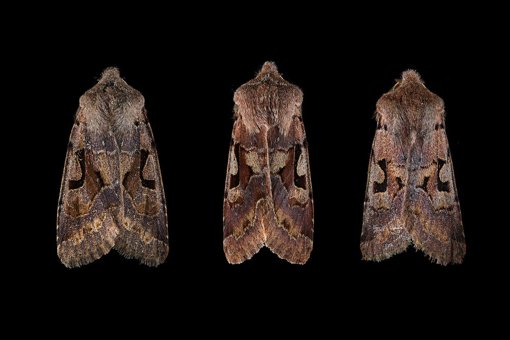 Hebrew character moth