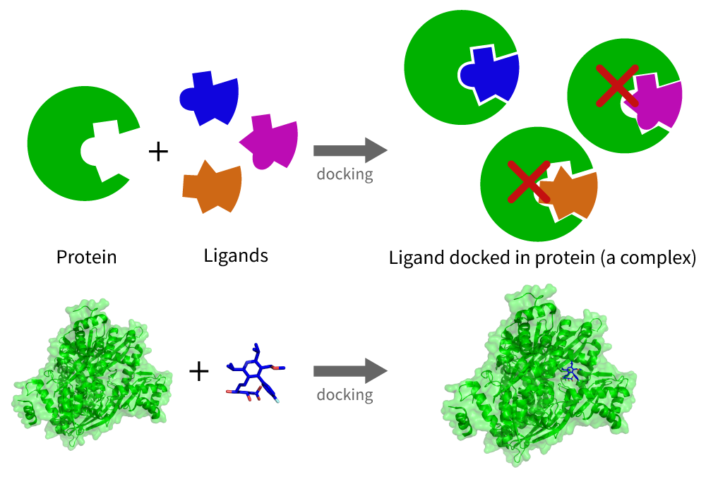 Figure 2. A schematic version of the docking procedure between a protein and potential ligand binders. Only one ligand forms a stable complex due to its physical and chemical compatibility with the protein.