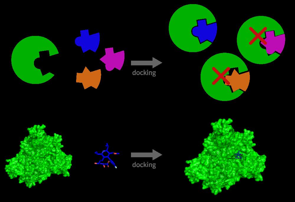 图2:蛋白质和潜在配体结合剂之间的对接过程的示意图。由于其与蛋白质的物理和化学相容性,仅有一种配体能形成稳定的络合物。