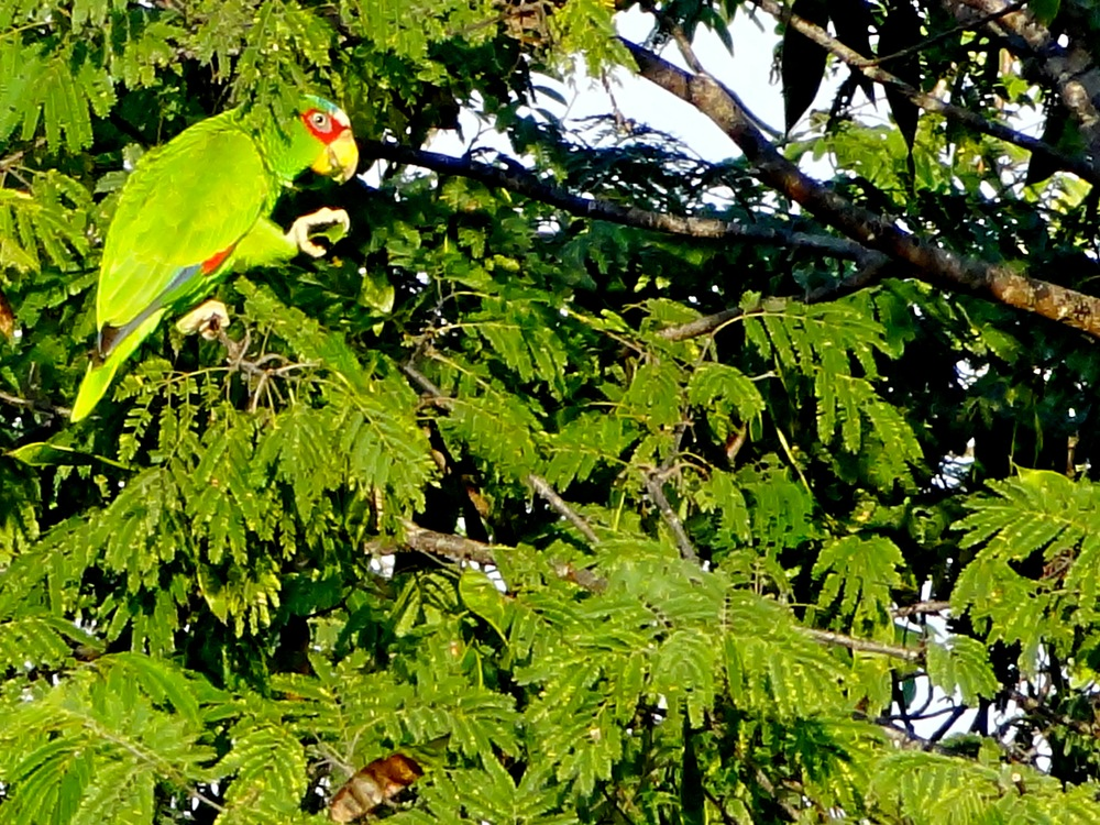 31 Parrot from MBR Balcony .jpg