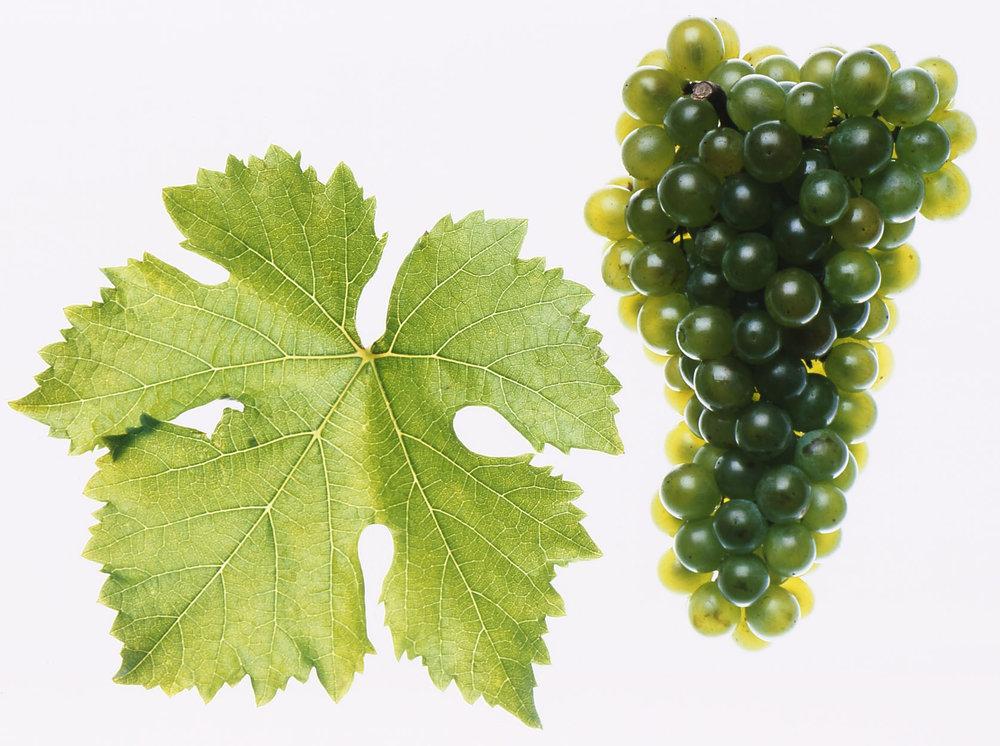 Grüner Veltliner (groo-ner velt-lee-ner)