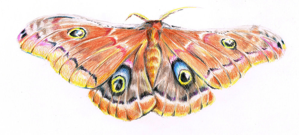 Polyphemus Moth, Colored Pencil
