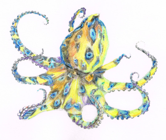 Blue-ringed Octopus, Watercolor