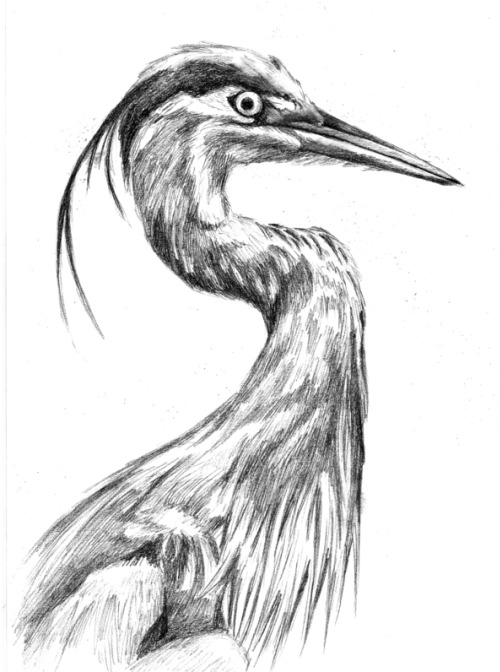 Great Blue Heron, Graphite