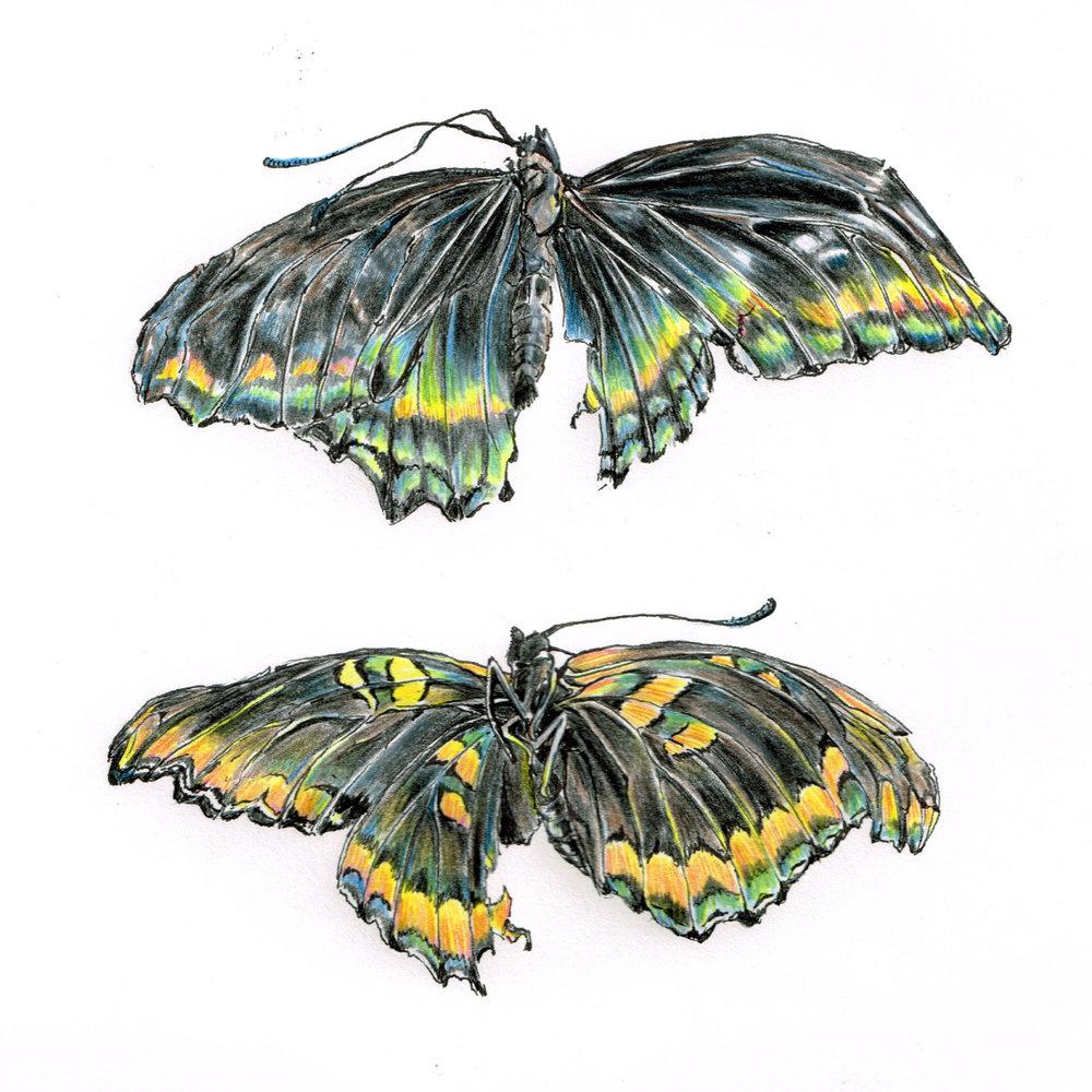 Unidentified crushed butterfly, top and bottom.  Colored pencil.
