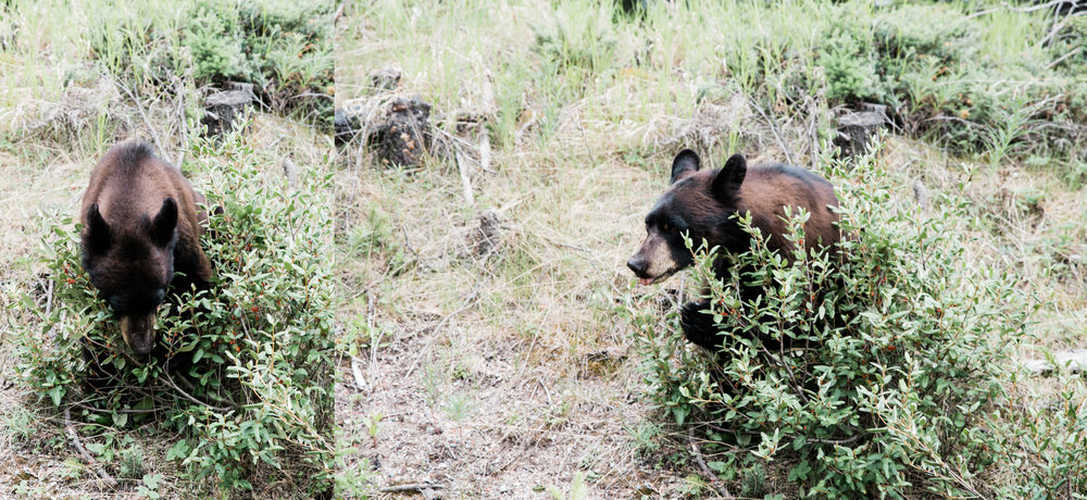 bear, jasper national park, canada.jpg