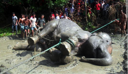Asian Elephant being rescued by sympathetic villagers.