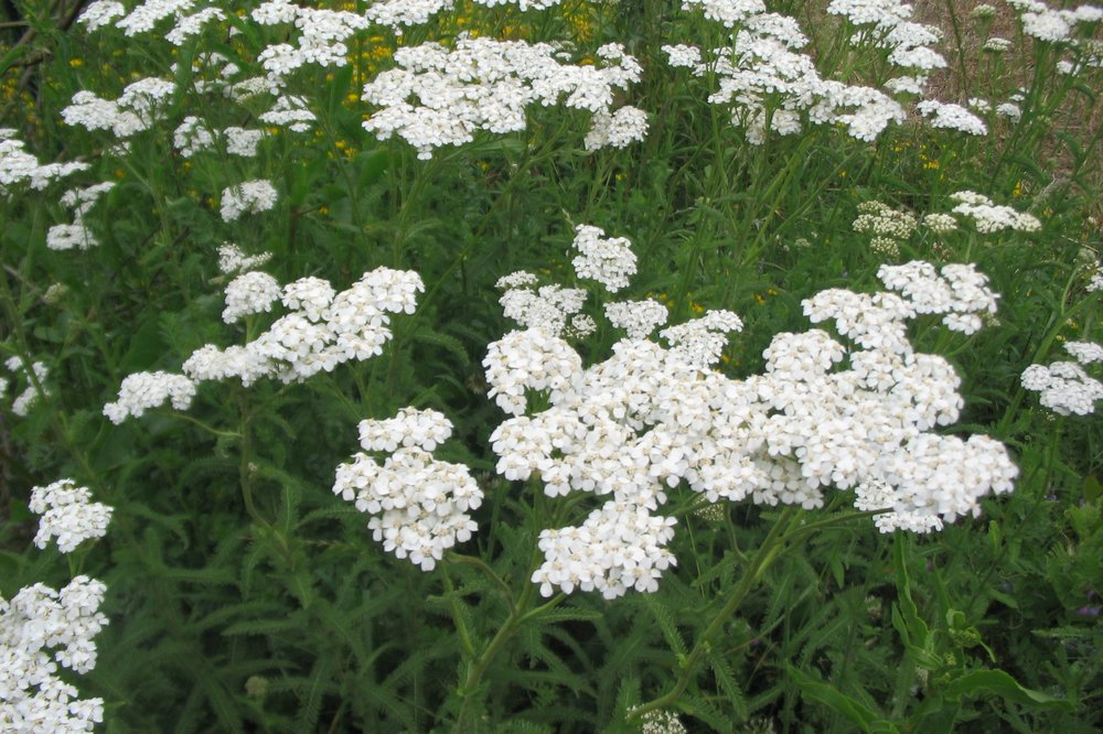Achillea millefolium -  Small Shrub  ⬈ Reaching a height of 1' and a width of 2' ☀ Full Sun ☂ Low  Spreading, mat-forming perennial that has ferny, bright green leaves. Foliage is topped by broad, creamy white flowers rising on stalks.