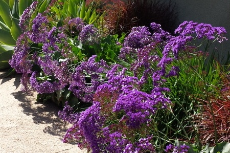 Limonium perezii -  Small Shrub  ⬈ Reaching a height of 2-3' and a width of 2-3' ☀ Full Sun ☂ Low  A tough perennial with a woody rhizome holding a basal rosette of 1 foot long triangle-shaped rounded leaves held on long petioles. Purple-white flowers rise above foliage on red stems.