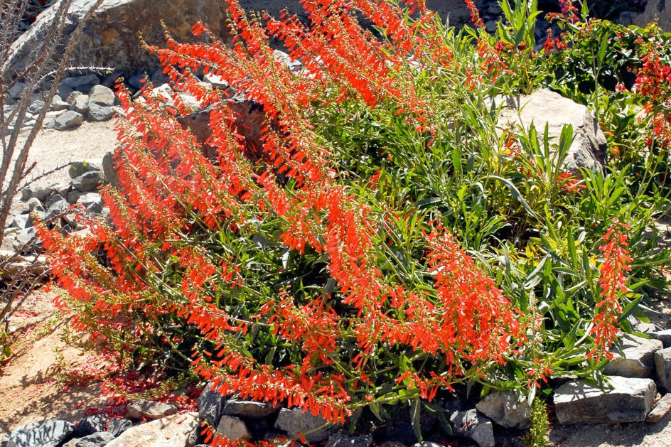 Penstemon eatonii -  Small Shrub  ⬈ Reaching a height of 2-4' and a width of 2' ☀ Full Sun / Partial Shade ☂ Low  A showy perennial with tall stalks adorned with brilliant orange-red tubular flowers rising 1-3' above of a mostly basal clump of green foliage.