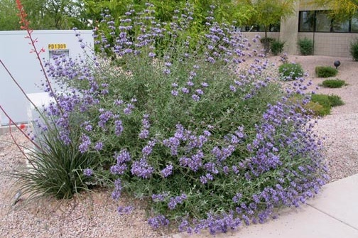 Salvia clevelandii -  Small Shrub  ⬈ Reaching a height of 3' and a width of 3' ☀ Full Sun ☂ Moderate  Compact, water efficient sage with dark red flower stems topped with dark violet-blue flowers.