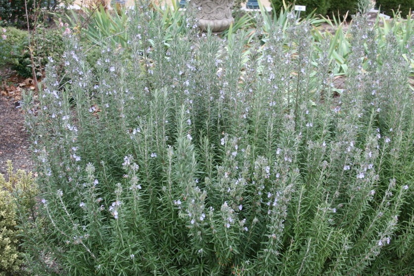 Rosmarinus officinalis   -  Medium - Large Shrub  ⬈ Reaching a height of 2-6' and a width of 2-4' ☀ Full Sun ☂ Low / Moderate  A rounded, evergreen shrub with aromatic, needle-like, gray-green leaves and tiny, two-lipped, pale blue to white flowers.
