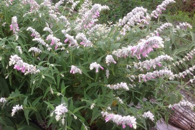 Salvia leucantha 'Danielles Dream' -  Medium - Large Shrub  ⬈ Reaching a height of 3' and a width of 4' ☀ Full Sun ☂ Low  Quick growing shrub of upright stems covered with wooly white hairs, gray-green leaves and velvety white-pink flower spikes.