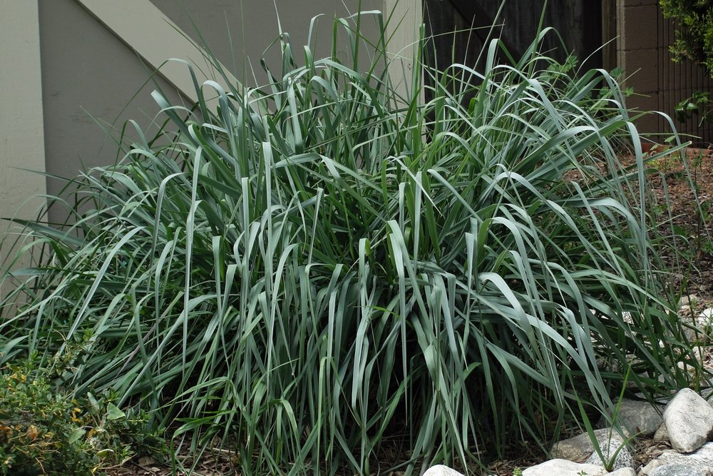 Leymus condensatus 'Canyon Prince'-  Ornamental Grass  ⬈ Reaching a height of 3' and a width of 4' ☀ Full Sun / Partial Shade ☂ Low / Moderate  Sturdy, water efficient grass with green foliage when new, maturing to brilliant silvery blue.