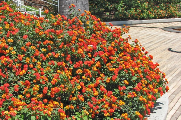 Lantana - Radiation -  Groundcover  ⬈ Reaching a height of 2' and a width of 6' ☀ Full Sun ☂ Low  Profuse color nearly year-round from masses of vivid orange-red flowers. An excellent low border, groundcover, or accent shrub. Tolerates heat. Control weeds with mulch until plants ll in. Prune back in Spring.