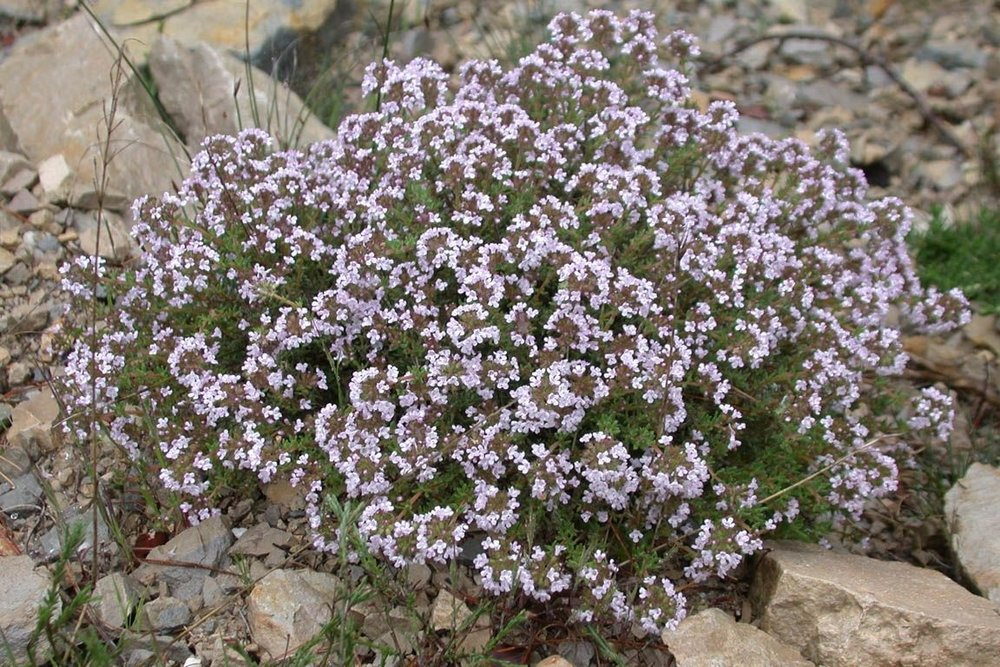 """Thymus   -  Groundcover  ⬈ Reaching a height of 6"""" and a spreading width ☀ Full Sun / Partial Shade ☂ Moderate  A semi-evergreen plant that forms a dense mat with tiny deep green leaves perfect for groundcover between stepping stones or rocks or spilling over a wall."""