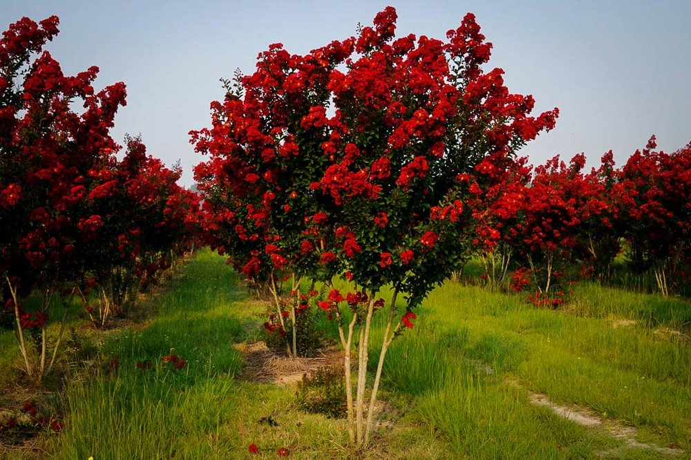 Lagerstroemia indica 'Dynamite' -  Tree  ⬈ Reaching a height of 15-20' and a width of 10-12' ☀ Full Sun / Partial Shade ☂ Low  A small deciduous tree that produces a profusion of crepe-like fiery red flower clusters. The bright green summer foliage develops exquisite orange-red coloring in the fall. Smooth, mottled, light cinnamon brown bark adds year-round interest. Remove suckers from the base of older trees.