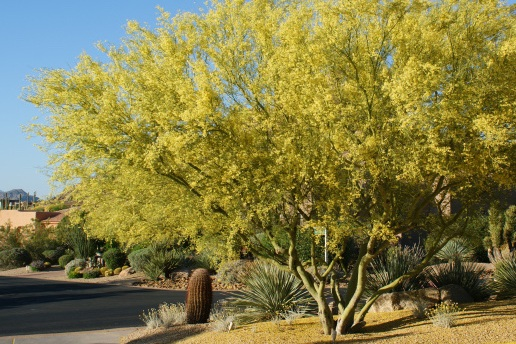 Parkinsonia florida -  Tree  ⬈ Reaching a height of 25' and a width of 20' ☀ Full Sun ☂ Low  A rapidly growing tree with trunk, branches, and leaves gray-green in color with bright yellow flowers that attract pollinators.