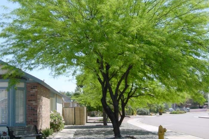 Prosopis chilensis -  Tree  ⬈ Reaching a height of 30' and a width of 30' ☀ Full Sun ☂ Low / Moderate  A water efficient, semi-evergreen tree with an open, airy, crown. Refined foliage and stems have a purple cast when young.