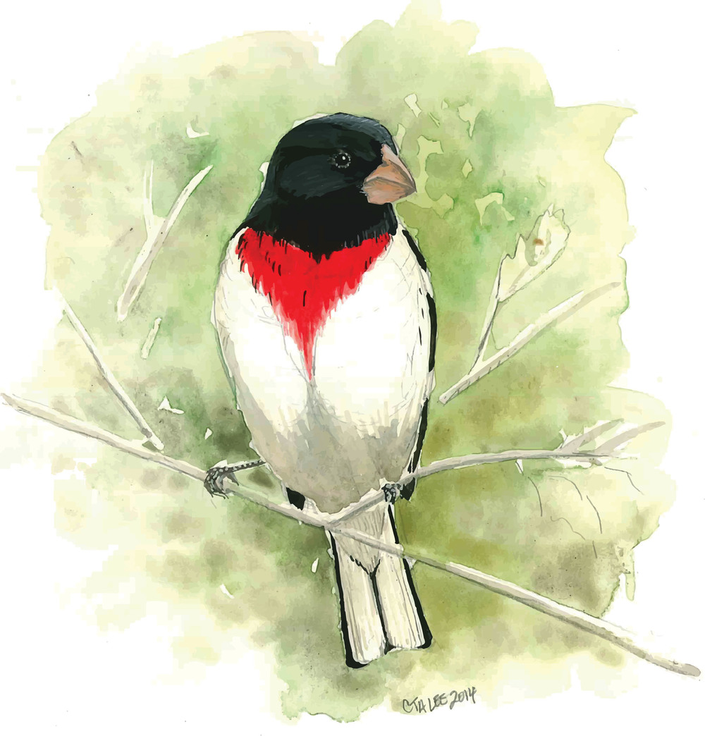 Rose-breasted Grosbeak single