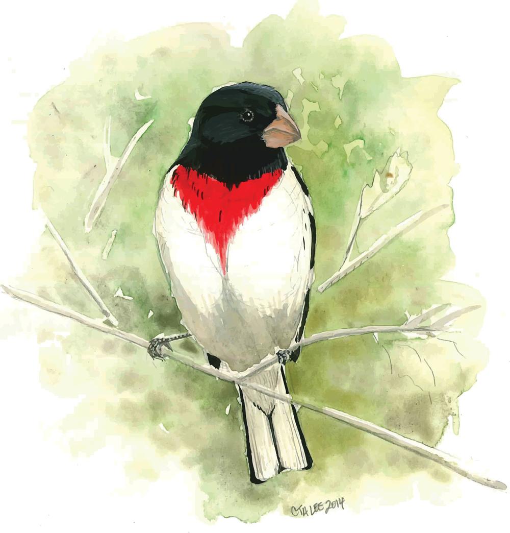 Rose-breasted Grosbeak single