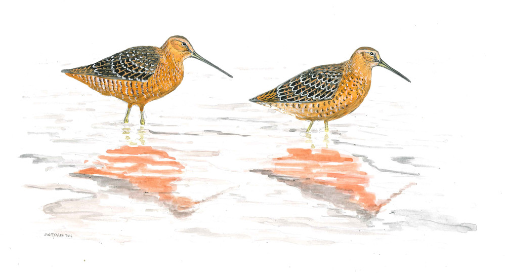 Long-billed and Short-billed Dowitchers